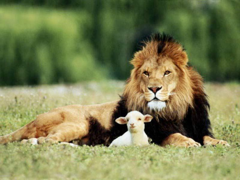 Sheep and lion laying